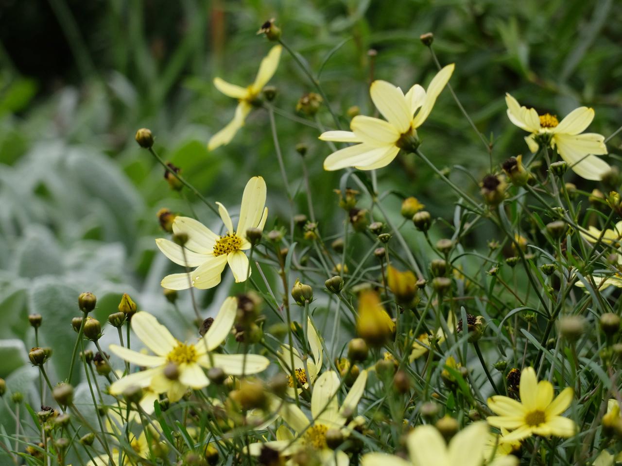 Yellow flowers in Weavers Fields